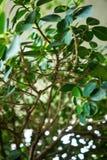 Foglia del panda cinese di ficus microcarpa del fico per fondo Immagine Stock Libera da Diritti