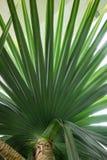 Foglia del pandanaceae di utilis del pandanus dell'albero di vite del Madagascar Fotografie Stock