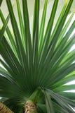 Foglia del pandanaceae di utilis del pandanus dell'albero di vite del Madagascar Fotografia Stock Libera da Diritti