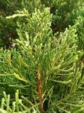 Foglia del pino Fotografia Stock