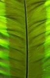 Foglia del primo piano del taro di Alocasia gigante o del taro gigante o dell'orecchio di elefante Fotografia Stock