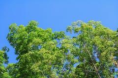 Foglia del ramo dell'albero di gomma bella in foresta sul fondo del cielo blu Immagine Stock