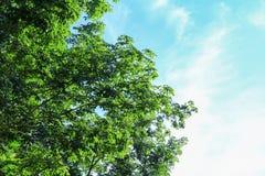Foglia del ramo dell'albero di gomma bella in foresta sul fondo del cielo blu Fotografia Stock Libera da Diritti