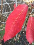 Foglia del Serviceberry Fotografia Stock Libera da Diritti