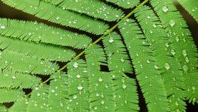 Foglia dell'acacia rampicante con la gocciolina dopo rainny Fotografia Stock