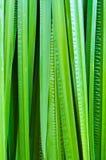 Foglia dell'acorus calamus Fotografia Stock