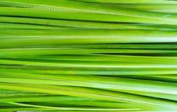 Foglia dell'acorus calamus Immagine Stock Libera da Diritti