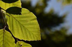 Foglia dell'albero Fotografia Stock Libera da Diritti