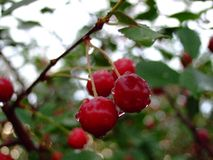 Foglia dell'albero da frutto con le gocce di pioggia fotografia stock