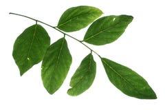 Foglia dell'albero del chicco di caffè del Kentucky su fondo bianco puro Immagini Stock