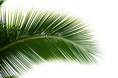 Foglia dell'albero del cocco isolata Fotografia Stock