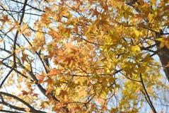 Foglia dell'albero di acero Fotografia Stock