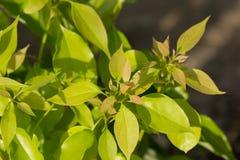 Foglia dell'albero di cinnamomum camphora immagine stock libera da diritti