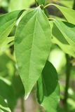 Foglia dell'albero di cinnamomum camphora fotografia stock