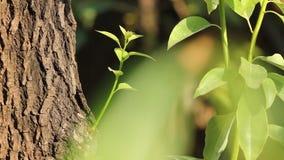 Foglia dell'albero di cinnamomum camphora stock footage