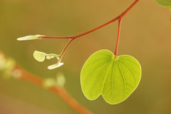 Foglia dell'albero di orchidea fotografia stock