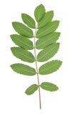 Foglia dell'albero di sorba Immagini Stock Libere da Diritti