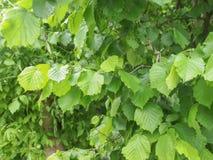 Foglia dell'albero nocciola Fotografia Stock Libera da Diritti