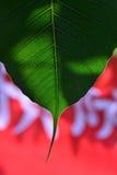 Foglia dell'albero peepal Fotografia Stock