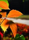 Foglia dell'arancia di autunno Fotografia Stock Libera da Diritti