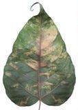 foglia dell'Bodhi-albero isolata su bianco Fotografia Stock