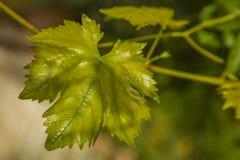 Foglia dell'uva Immagine Stock Libera da Diritti