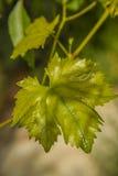 Foglia dell'uva Immagine Stock
