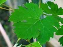 Foglia dell'uva Immagini Stock Libere da Diritti