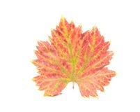 Foglia dell'uva di autunno Fotografia Stock