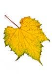 Foglia dell'uva di autunno isolata su fondo bianco Immagini Stock Libere da Diritti