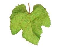 Foglia dell'uva su fondo bianco puro Fotografia Stock