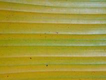 foglia della banana Fotografie Stock Libere da Diritti