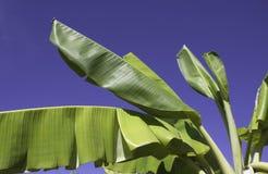 foglia della banana Immagine Stock Libera da Diritti