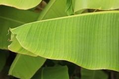 foglia della banana Fotografia Stock Libera da Diritti