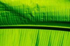 foglia della banana Immagine Stock