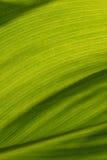 Foglia della banana del fondo dipinta estratto Fotografia Stock
