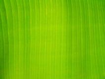 Foglia della banana di verde del fondo di struttura Immagine Stock Libera da Diritti