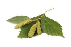 Foglia della betulla con gli orecchini Fotografia Stock Libera da Diritti