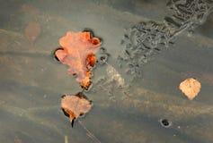 Foglia della betulla e della quercia congelata nel fiume congelato orizzontale Fotografia Stock