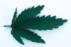 Foglia della cannabis isolata su fondo bianco Fotografie Stock Libere da Diritti