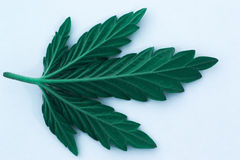 Foglia della cannabis isolata su fondo bianco Immagine Stock
