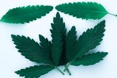 Foglia della cannabis isolata su fondo bianco Immagini Stock
