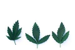 Foglia della cannabis isolata su fondo bianco Immagine Stock Libera da Diritti