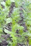 Foglia della carota Immagini Stock