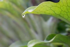 Foglia della felce con goccia di acqua Fotografia Stock Libera da Diritti