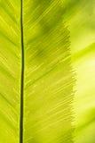 Foglia della felce del nido dell'uccello Fotografie Stock