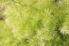 Foglia della felce di asparago Fotografie Stock Libere da Diritti