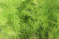 Foglia della felce di asparago Immagini Stock Libere da Diritti
