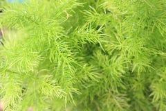 Foglia della felce di asparago Immagine Stock Libera da Diritti