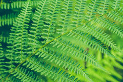 Foglia della felce di Beautyful Fine verde del fogliame su Fondo floreale naturale della felce Fotografie Stock Libere da Diritti